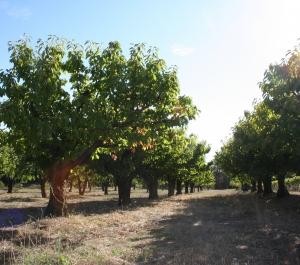 Deux rangées de cerisiers sur fond de ciel bleu