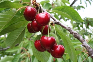 Cerises rouges sur l'arbre