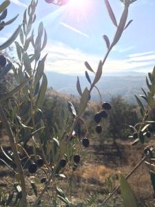 Gros plan sur un olivier et ses olives noires, le ciel bleu en fond