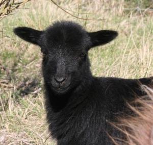 Photographie d'agneau de couleur noire de face