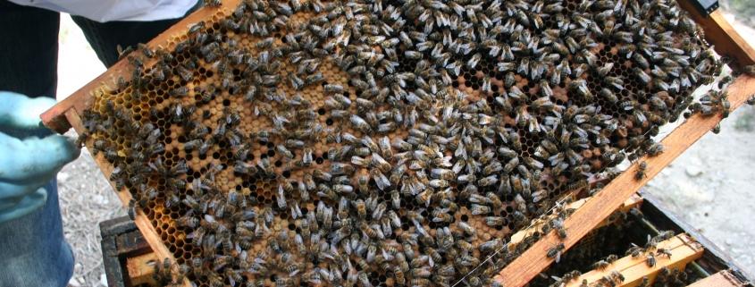 Abeilles, ruche et miel.