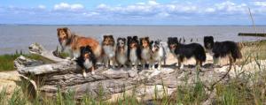 Huit chiens Shetland perchés sur une branche d'arbre à la plage