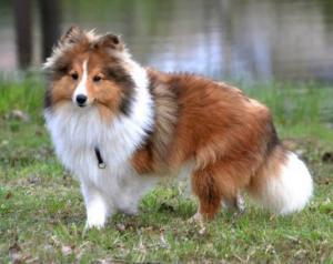 KEENY, la chienne de compagnie, rousse et blanche, elle se tient debout et regarde quelque chose avec un air curieux