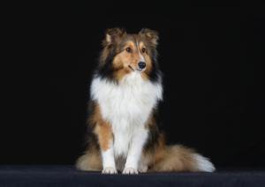 JESSY, chienne assise, faisant face à l'objectif et regardant légèrement de côté. Elle a le poils roux et noir, mais blanc sur le ventre
