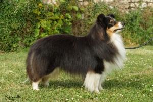 chien noir et blanc au poil long de profil
