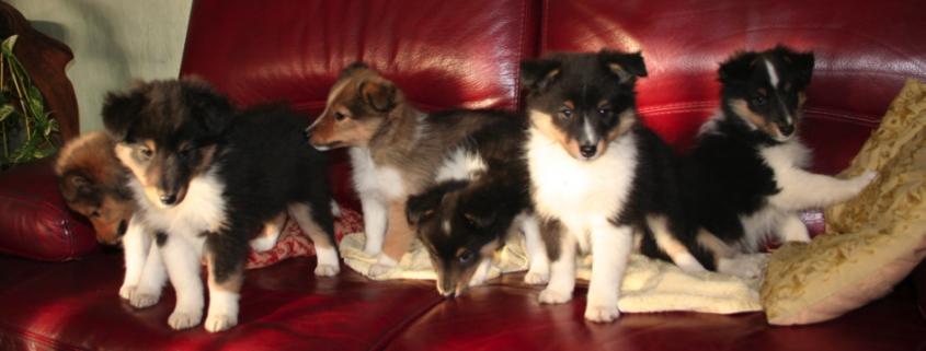 Six chiots installés sur un canapé rouge