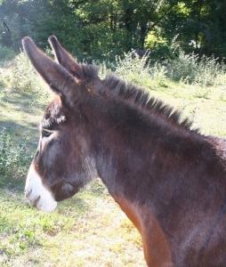 Photographie de Tango, de profil, âne au pelage sombre