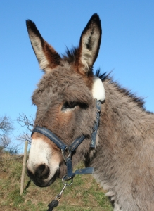 photographie de profil de l'ânesse nommée Princesse